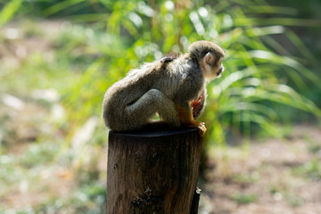 Little Skull Monkey