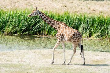 Giraffe wildlife Safari