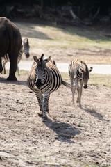 Wild Zebra in Savanna