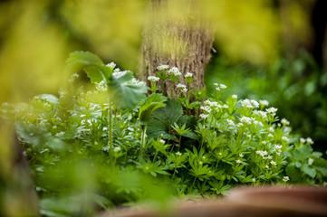 Blühender Waldmeister und Erdbeerblätter vor unscharfem Hintergrund