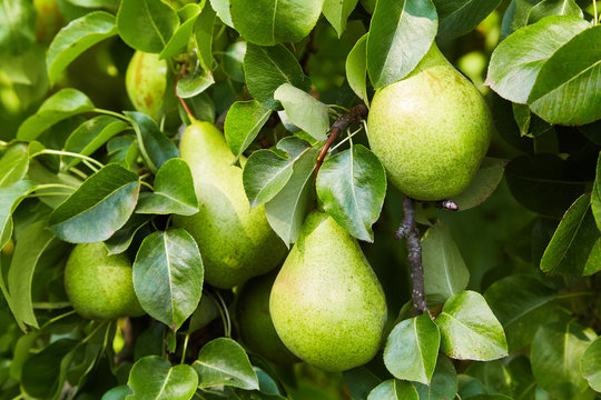 Fresh ripe pears on the branch growing on a tree