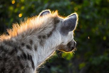 Photo sur Plexiglas Hyène Sun on hyena mane