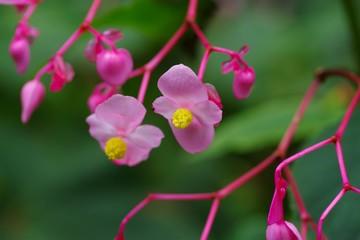 Hardy begonia (Syuukaidou)