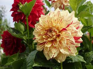 Dahlias, summer and autumn flowers.