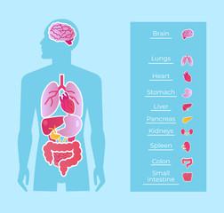 Human man people anatomy internal organs system banner poster scheme. Medicine education concept. Vector flat cartoon isolated graphic design illustration