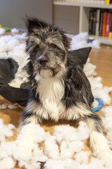 Cutie and naughty dog with ripped up cushion