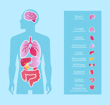 Human man people anatomy internal organs system banner poster scheme. Medicine education concept. Vector flat cartoon isolated graphic design illustration