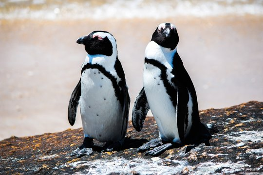 Close up of two penguins sitting on a rock against sea background
