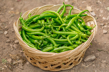 Green peppers  collected in basket at harvest