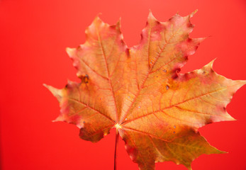 Hello autumn, maple leaf close up isolate on red background