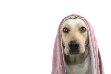 DOG WAITING FOR A BATH, COVERING ITS HEAD WITH A TOWEL. ISOLATED SHOT AGAINST WHITE BACKGROUND.