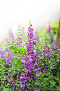 Summer Snapdragon (Angelonia) flowers in the field.