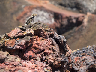 lizard in the sun on volcan chico