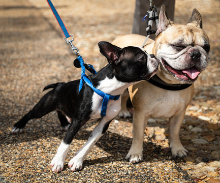 Boston Terrier Puppy Giving Kiss to a French Bulldog