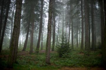 pine tree wood