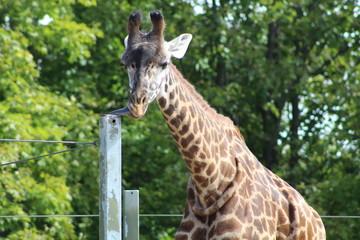 Giraffe standing tall at the zoo