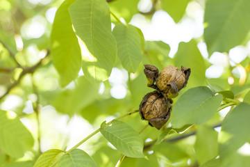 Ripe walnuts hanging between leaves on nut tree. Reife Walnüsse hängen zwischen Blättern auf  Nussbaum.