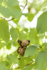 Harvesting ripe walnuts hanging on Tree. Reife Walnüsse von Baum ernten.