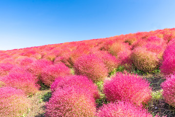 Kochia and cosmos filed Hitachi Ibaraki Japan