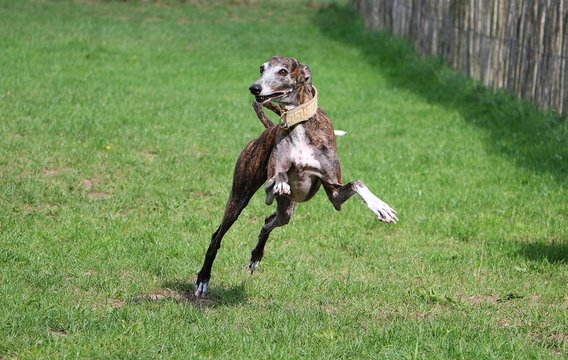 funny jumping brindle galgo in the garden