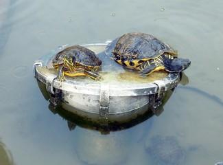 Deux tortues aquatiques au soleil.