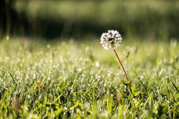 morning dew drops in gren grass meadow in autumn