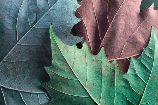 Macro image of plane tree leaves, background