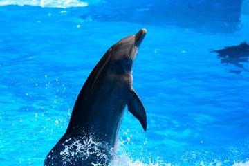 Close up of a dolphin performing in a dolphin show