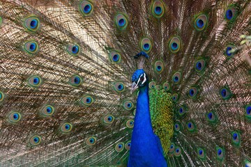 Portrait of a blue peacock (pavo cristatus) fanning out it's tail feathers