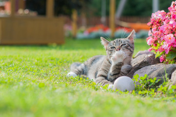 Gray cat playing with ball on the grass and licks the paw