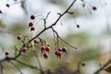Branch with wild forest tree berries in autumn, vivid colorful nature. Seasons. Natural background