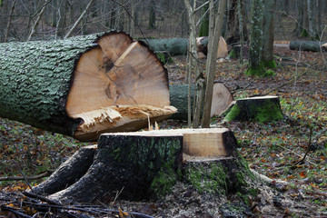 Cut tree in Białowieża Forest, Poland