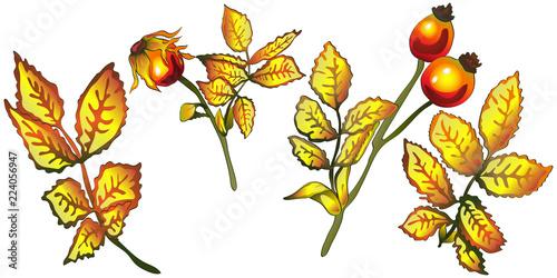 Vector Autumn Yellow Rose Hip Leaves Leaf Plant Botanical Garden