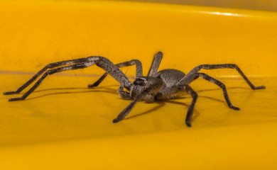 South Australian Huntsman spider resting on the (yellow) lid of a wheelie bin.