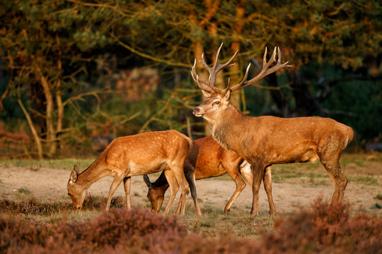 Red deer stag with some femalein the rutting season in the Hoge Veluwe National Park in the Netherlands