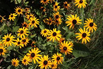 Printed kitchen splashbacks Sunflower Жёлтые цветы