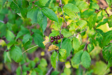 Wild berries growing in a patch of green plant life