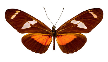 Heliconius ricini on a white background