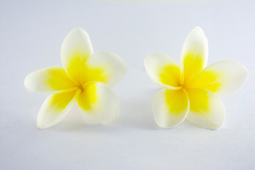 Isolated plumeria flowers on the white background.