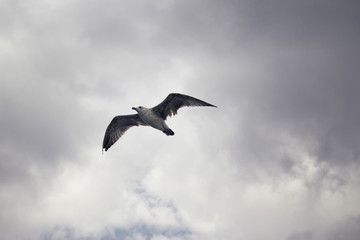 View of a seagull flying with cloudy sky background.