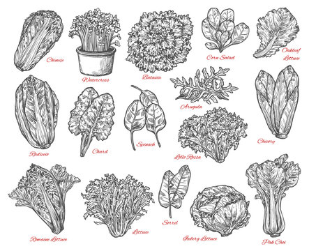 Salad leaves and vegetable vector sketches