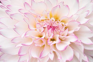 Pink and White Dahlia Macro