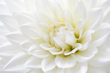 Photo sur Plexiglas Dahlia White Dahlia Close-up