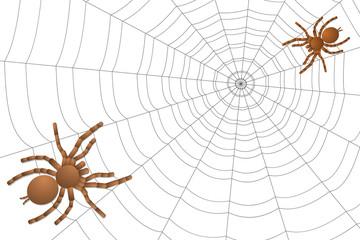 two spiders of a tarantula on a cobweb