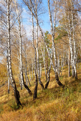 Autumn Landscape: Birch Forest with Golden Foliage on Flank of Hill at Sunny Day in September