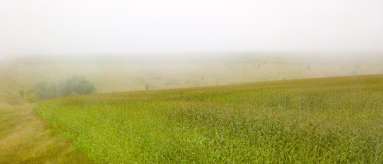 Wall Mural - Panoramic view of a cornfield on a foggy morning. Photo from the drone