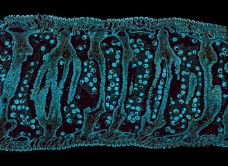 clam gill - cross section cut under the microscope – microscopic view of animal cells for education