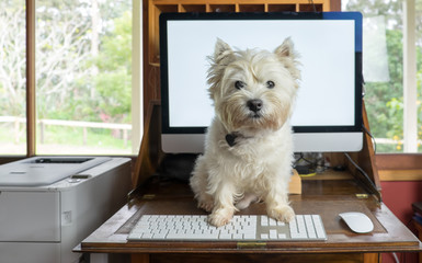 Bring dog to work day - west highland white terrier on desk with computer