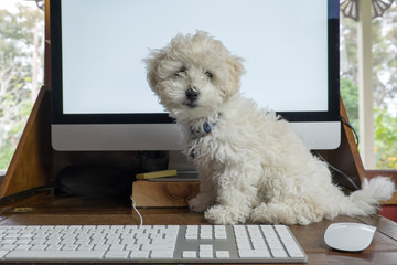 Working from home with bichon frise puppy dog on desk with computer