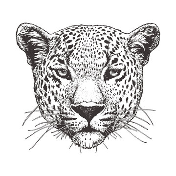 Portrait of Leopard, hand-drawn illustration, vector